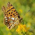 Issoria lathonia Kl Perlmuttfalter 160703-0683 TegelFließ SOOCx.jpg