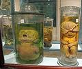 Istituto di anatomia patologica, museo, campioni 18 feti malformati.JPG