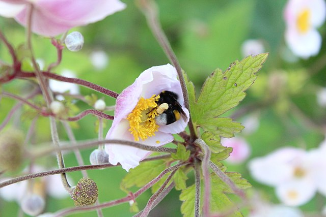 Bumblebee on japanese anemone blossom