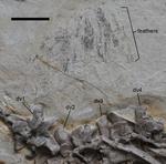 Jianchangosaurus feathers.png