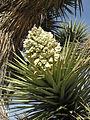 Joshua-tree Yucca brevifolia in-bud close.jpg
