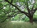 Juglans major at Cambridge Botanic Garden.jpg