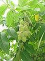 Juglans mandshurica var. sieboldiana fruits.JPG