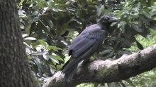 File:Jungle crow (Corvus macrorhynchos) in Tokyo.webm