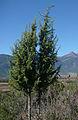 Juniperus formosana, Yulongxueshan.jpg