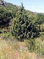 Juniperus oxycedrus Habitat 17May2009 DehesaBoyaldePuertollano.jpg