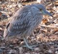 Juvenile Black Crowned Night Heron.jpg