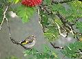 Juvenile European Goldfinch in a Rowan Tree.jpg
