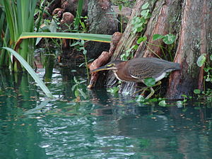 Juvenille Green Heron waiting for minnows duri...