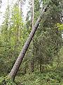 Jyväskylä - leaned tree.jpg