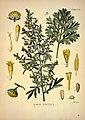 Köhler's Medizinal-Pflanzen in naturgetreuen Abbildungen mit kurz erläuterndem Texte (Plate 68) (7118331263).jpg