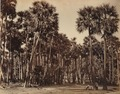 KITLV 92082 - Unknown - Palmyra palms at Madurai in India - Around 1870.tif