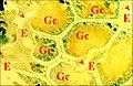 Kaira alba, glande agrégée, coussinets, histologie.jpg