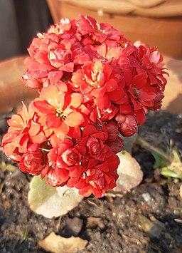 Kalanchoe blossfeldiana Plant 09
