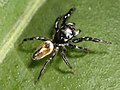 Kaldari Pachomius male 03.jpg