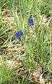 Kalletal - 2015-05-02 - LIP-032 Abgrabung Stemmen (05) - Muscari.jpg