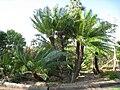 Kampong - Cycas circinalis.jpg