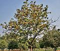 Kanak Champa (Pterospermum acerifolium) in Hyderabad W IMG 7128.jpg