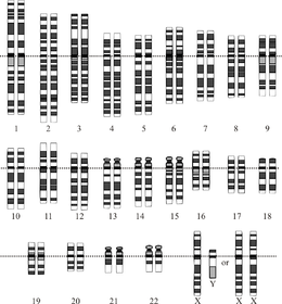 Showing The Organization Of The Genome Into Chromosomes This Drawing Shows Both The Female Xx And Male Xy Versions Of The 23rd Chromosome Pair