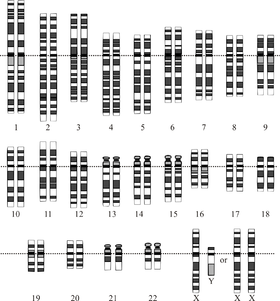 A graphical representation of the normal human karyotype.