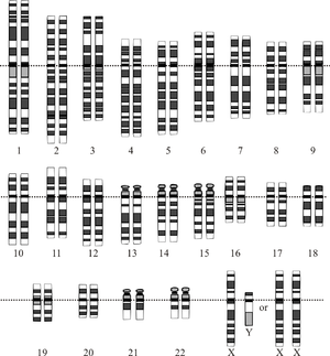 Human genome - Graphical representation of the idealized human diploid karyotype, showing the organization of the genome into chromosomes. This drawing shows both the female (XX) and male (XY) versions of the 23rd chromosome pair. Chromosomes are shown aligned at their centromeres. The mitochondrial DNA is not shown.