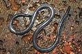 Khaire's Black Shieldtail Melanophidium khairei by Dr. Raju Kasambe DSCN1145 (30).jpg