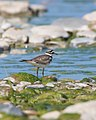 Killdeer (4641152278).jpg