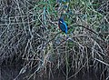 Kingfisher by Tavistock Canal.jpg