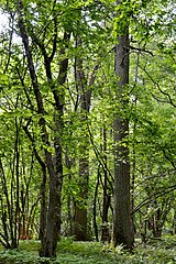 Kivertsi Volynska-Kivertsivska dacha-1 protected tract-view from forest road-1.jpg
