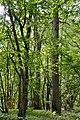 Kivertsi Volynska-Kivertsivska dacha-1 protected tract-view from forest road-1.jpg