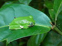 Kivu Treefrog (Leptopelis kivuensis) (7073633461).jpg