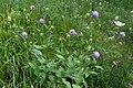 Knautia dipsacifolia-0926 - Flickr - Ragnhild & Neil Crawford.jpg