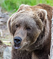 Kodiak bear in Orsa Rovdjurspark (14916148309).jpg