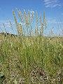 Koeleria macrantha sl30.jpg