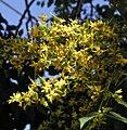 Koelreuteria-paniculata-flowers.jpg
