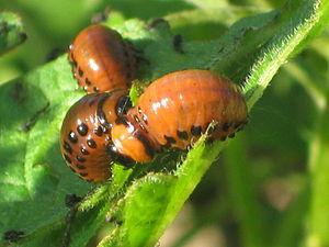 колорадский жук для детей