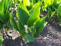 Konwalia majowa (Convallaria majalis).jpg