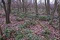 Korina 2015-03-29 Mahonia aquifolium 3.jpg