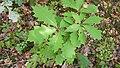 Korina 2018-09-01 Quercus rubra 3.jpg