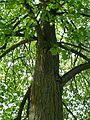 Kornik Arboretum lipa krymska.jpg