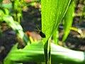 Kumbang Bubuk.jpg