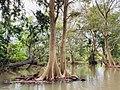 Kumbuk Trees in Wellawaya.jpg