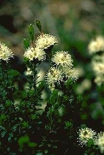 <i>Kunzea cambagei</i> Species of flowering plant