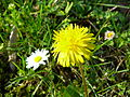 Kwiatostan stokrotki pospolitej (Bellis perennis, po lewej) i mniszka pospolitego (Taraxacum officinale)- kwiatostany typu koszyczek.JPG
