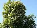 Kwitnący kasztanowiec - panoramio (3).jpg