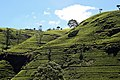 Labookellie tea plantation, Sri Lanka 2.jpg