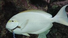 File:Labroides dimidiatus cleaning Acanthurus mata - Gijon Aquarium - 2015-07-02.webm