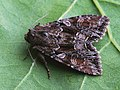 Lacanobia thalassina - Pale-shouldered brocade (40180553615).jpg