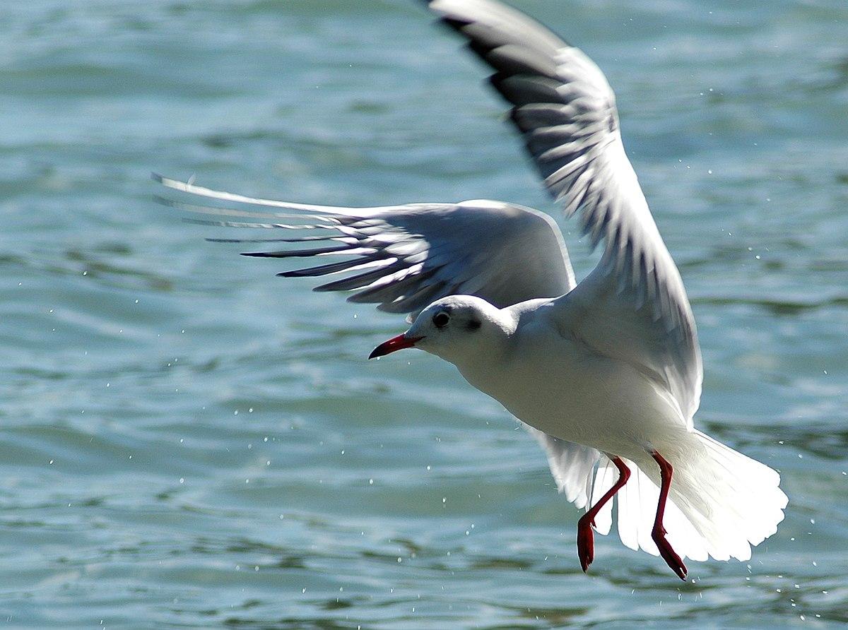 Херсонищина. Масовий мор диких птахів Чорного моря