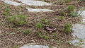 Lactarius rufus, Sète 01.jpg
